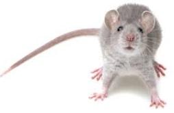 mice pests